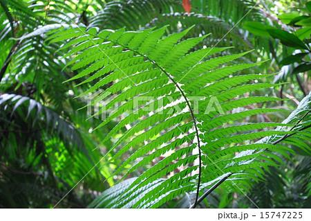 シダ(沖縄) 南洋の大型植物 15747225