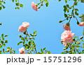 薔薇の花のフレーム 15751296