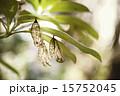 オオゴマダラ蛹の脱け殻 15752045