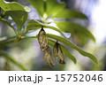 オオゴマダラ蛹の脱け殻 15752046