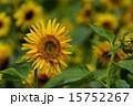 日車 マティスのひまわり 日輪草の写真 15752267