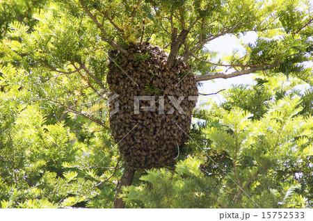 蜜蜂の巣別れ 15752533
