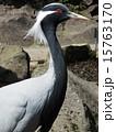 アネハヅル ツル科 横顔の写真 15763170