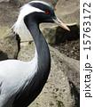アネハヅル ツル科 横顔の写真 15763172