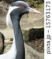 アネハヅル ツル科 横顔の写真 15763173