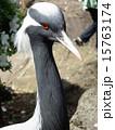アネハヅル ツル科 横顔の写真 15763174