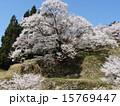 樹木 植物 桜の写真 15769447