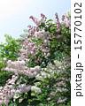 初夏を彩る卯の花 15770102