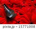 赤いガーベラと蝶 15771008