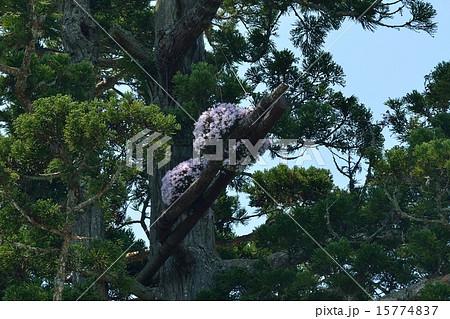 瑞巌寺の杉の木に着生したセッコク 15774837