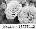蕾 植物 薔薇の写真 15775112