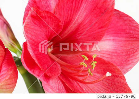 Royal red amaryllis 15776796 pixta for Amaryllis royal red arrosage