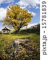 イチョウの木と切り株 15781839