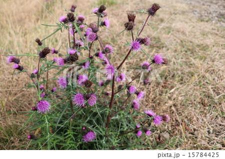秋の箱根 アザミの花 15784425