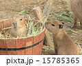 生後5日目のカピバラの赤ちゃん 15785365