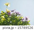 パンジー ビオラ 花の写真 15789526