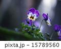ビオラ 花 紫色の写真 15789560