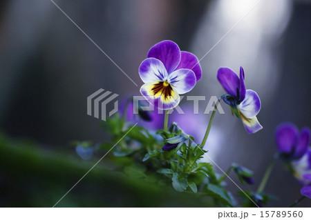 紫のビオラの花 15789560