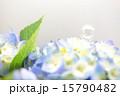 紫陽花 シャボン玉 花の写真 15790482