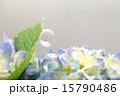 紫陽花 シャボン玉 花の写真 15790486