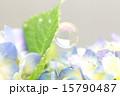 紫陽花 シャボン玉 花の写真 15790487