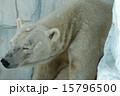 ホッキョクグマ 熊 天王寺動物園の写真 15796500