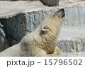 熊 天王寺動物園 ホッキョクグマの写真 15796502