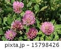 紫詰草 シャジクソウ属 赤詰草の写真 15798426