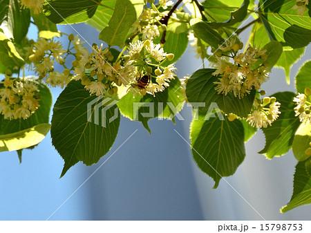 銀座並木通りのリンデンの花咲く 15798753