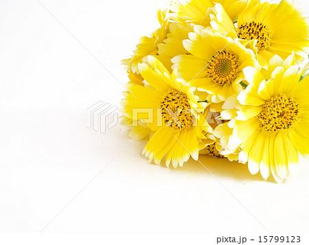つましろひなぎくの花束 15799123