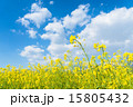 菜の花畑 15805432