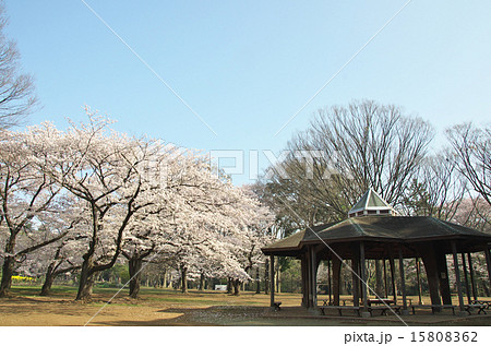 代々木公園の桜 15808362
