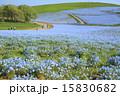 ネモフィラ みはらしの丘 国営ひたち海浜公園の写真 15830682