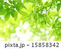 青葉 枝葉 葉の写真 15858342