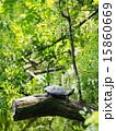 亀 甲羅干し クサガメの写真 15860669