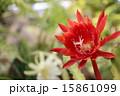 サボテン 多肉植物 孔雀サボテンの写真 15861099