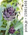 紫色のアーティチョーク 15861408