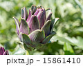 紫色のアーティチョーク 15861410