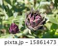 紫色のアーティチョーク 15861473
