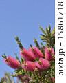 金宝樹 カリステモン 蕾の写真 15861718