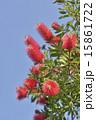 金宝樹 カリステモン 蕾の写真 15861722