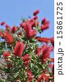 金宝樹 カリステモン 蕾の写真 15861725