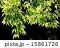 ケヤキ 若葉 葉の写真 15861726