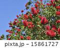 金宝樹 カリステモン 蕾の写真 15861727