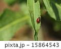 擬態 ハムシ科 クロボシツツハムシの写真 15864543