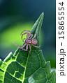 蜘蛛 15865554