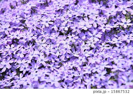 青紫色の芝桜 15867532