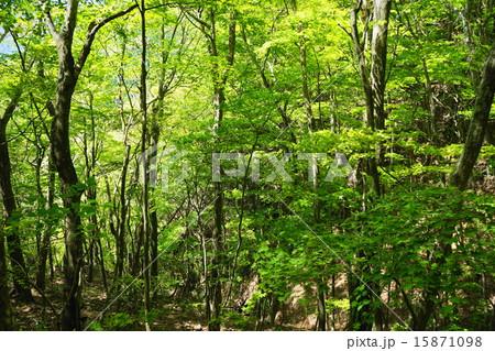 5月葉 新緑の樹木17萌黄色の若葉 15871098