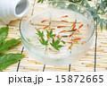 淡水魚 金魚 魚の写真 15872665