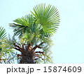 シュロ 青空 葉の写真 15874609